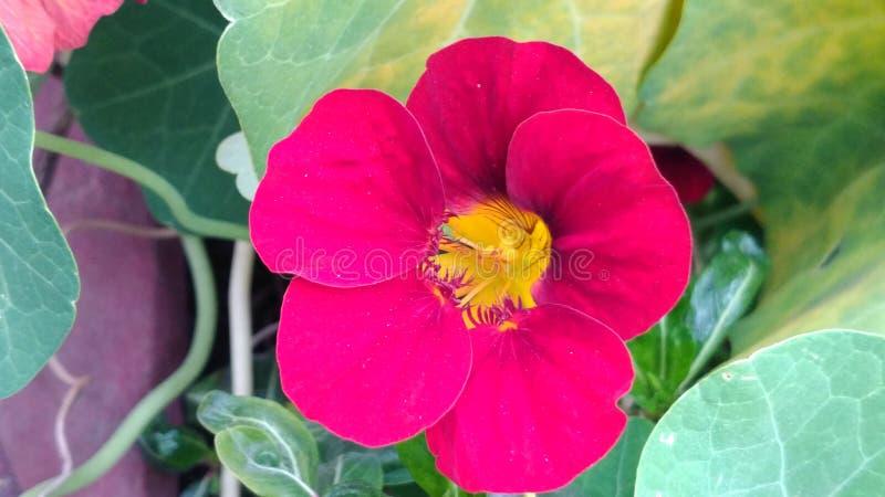 Rote Blume stockbilder