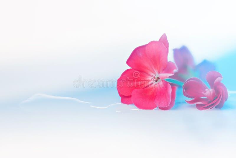 Rote Blume auf hellem weiß-blauem Hintergrund mit Reflexion in den Wassertropfen und -schatten stockfotografie
