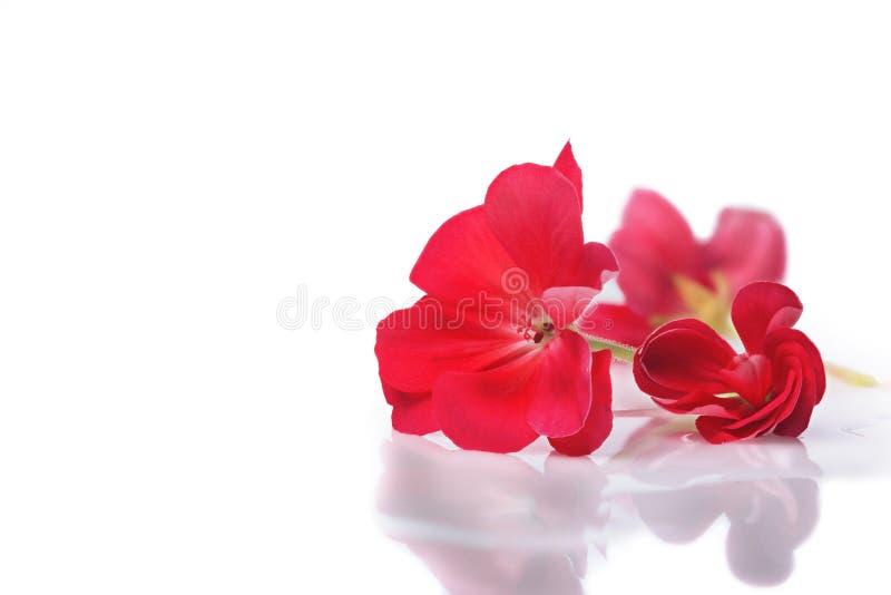 Rote Blume auf hellem weißem Hintergrund mit Reflexion in den Wassertropfen und -schatten lizenzfreie stockfotografie
