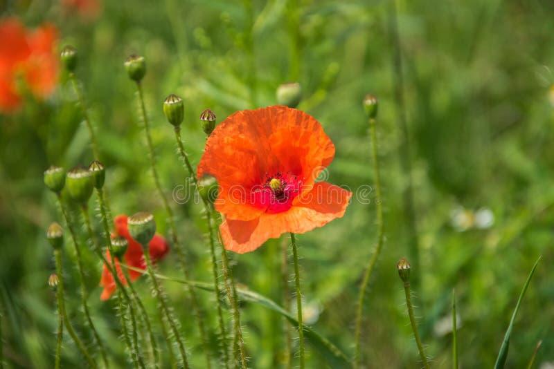 Rote Blume der blühenden Mohnblume auf einem Hintergrund des grünen Grases stockfoto