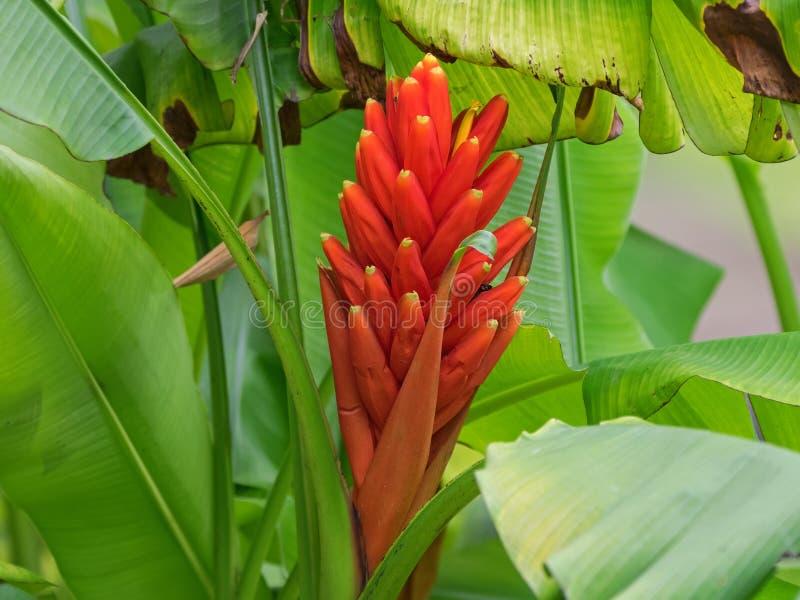 Rote Blume der Nahaufnahme des Scharlachrots Banane, rot-blühende Banane stockfotografie