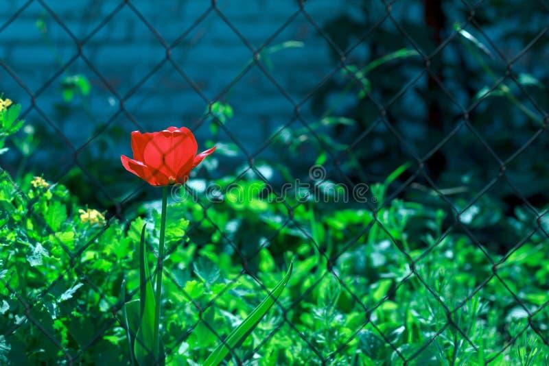 Rote Blume der Tulpe hinter Gittern lizenzfreie stockfotografie