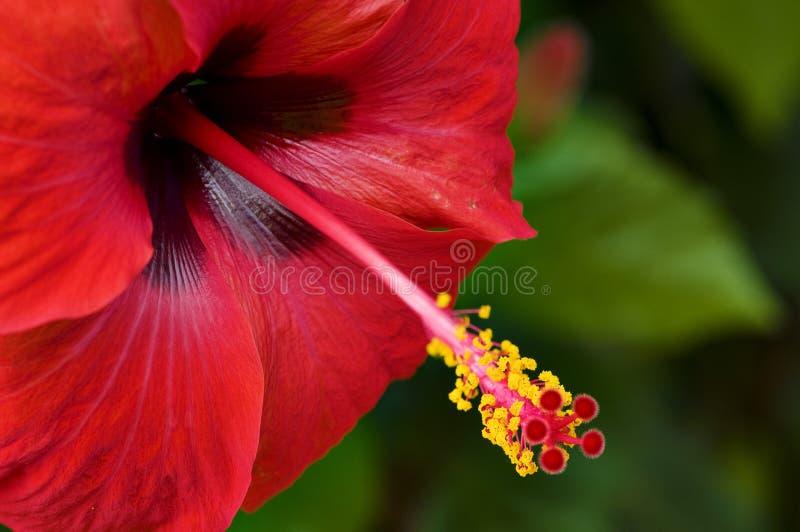 Rote Blume des Hibiscus stockfoto
