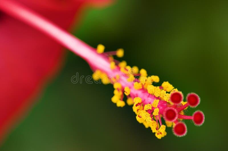 Rote Blume des Hibiscus stockfotos