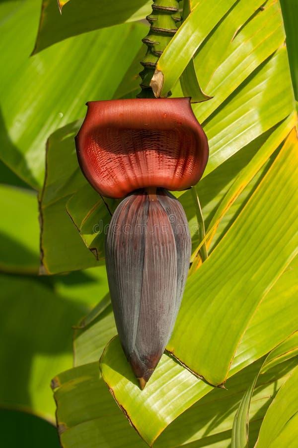 Rote Blume einer Banane stockbilder