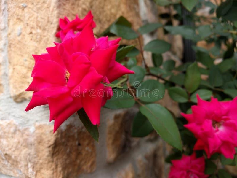 Rote Blume gegen eine Steinwand lizenzfreies stockfoto