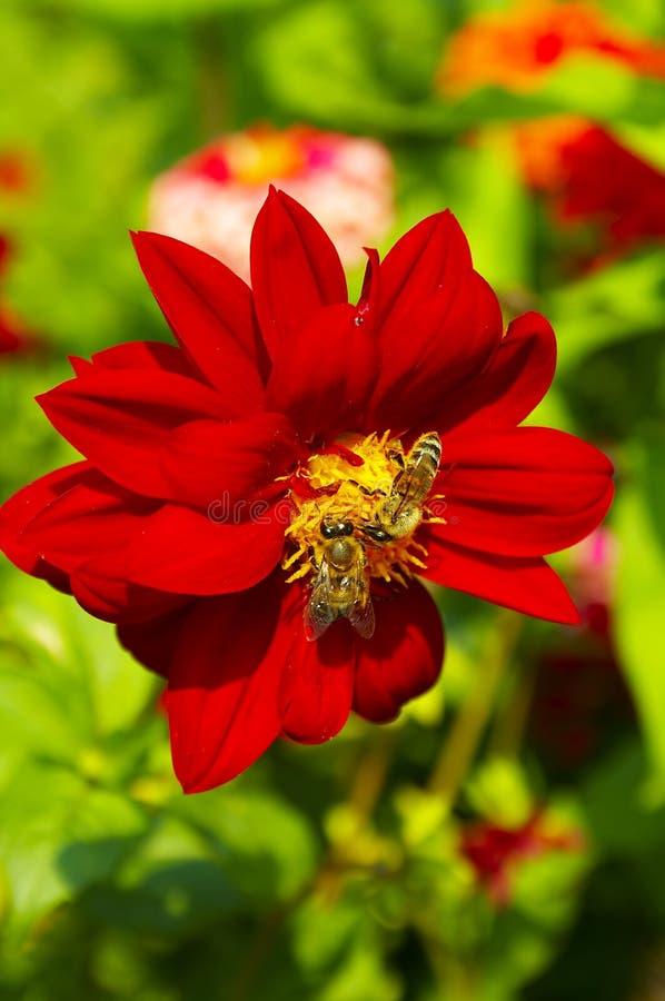 Rote Blume mit Bienen stockfotografie