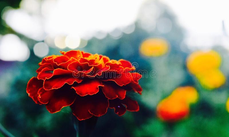 Rote Blume mit einer Note der Orange und des Gelbs lizenzfreie stockfotografie