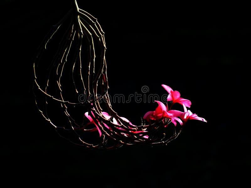 Rote Blume mit schwarzem Hintergrund stockfoto