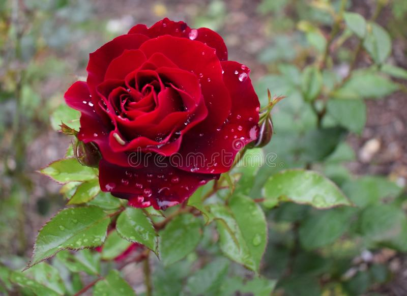Rote Blume mit Wassertropfen stockfotos