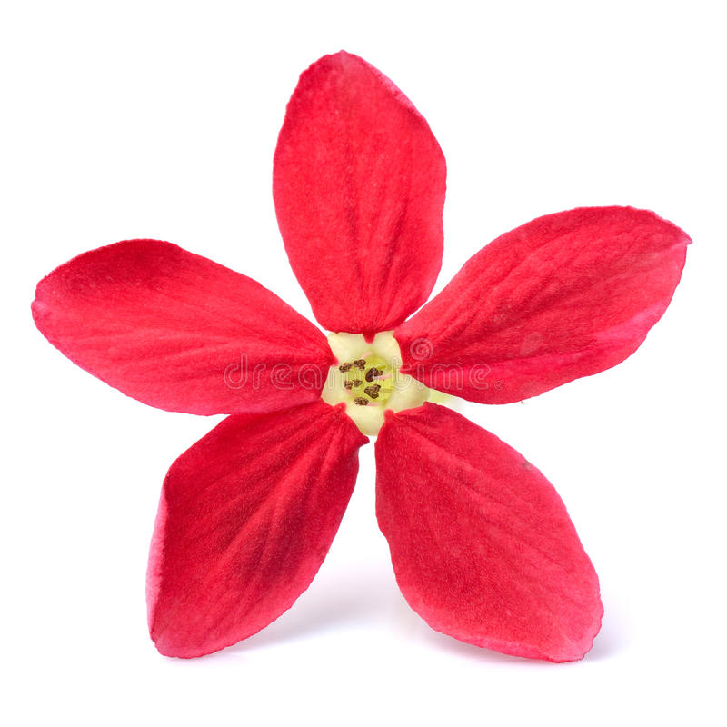 Rote Blume von Rangun-Kriechpflanze auf weißem Hintergrund stockbild