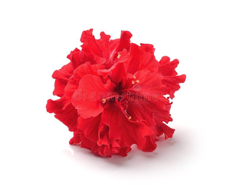Rote Blumen auf weißem Hintergrund stockbild