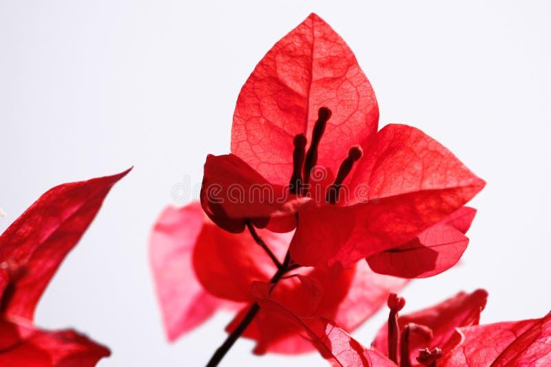 Rote Blumen-Blumenblätter auf weißem Hintergrund lizenzfreie stockbilder
