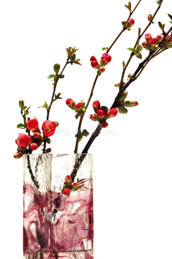 Rote Blumen der japanischen Quitte stockfoto