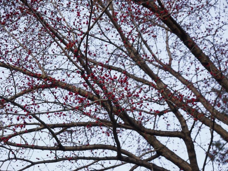 Rote Blumen der wilden Akazie auf dem Himmelhintergrund lizenzfreie stockbilder