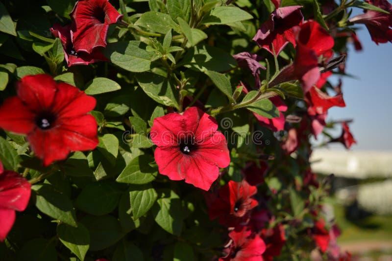 Rote Blumen in einem obenliegenden Bündel stockbilder
