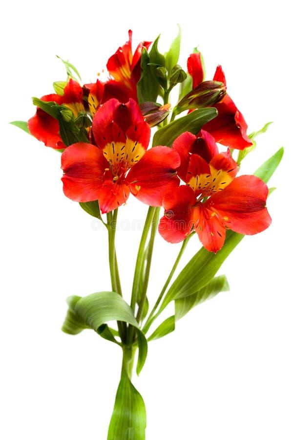 Rote Blumen getrennt lizenzfreie stockfotografie