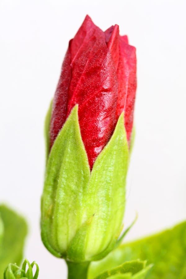 Rote Blumen-Knospe lizenzfreie stockfotos