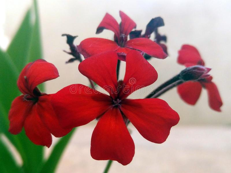 Rote Blumen mit f?nf Blumenbl?ttern stockfoto