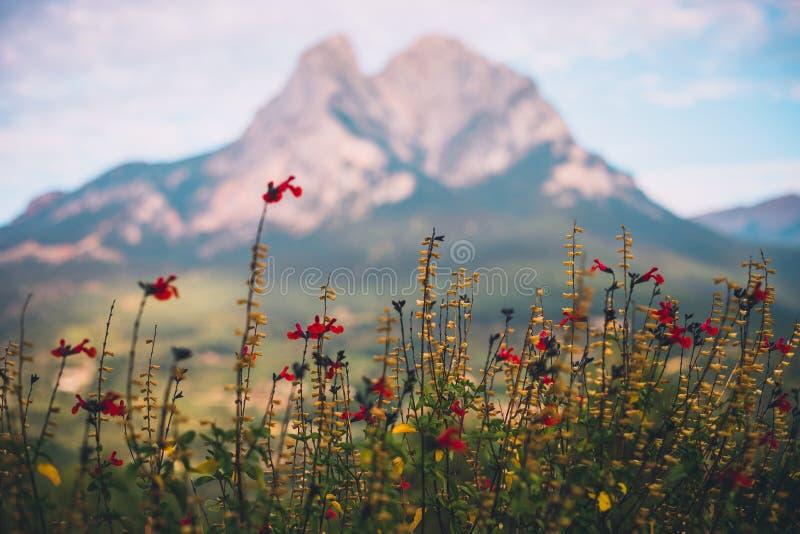 Rote Blumen mit unscharfem Pedraforca-Berg im Hintergrund stockfoto