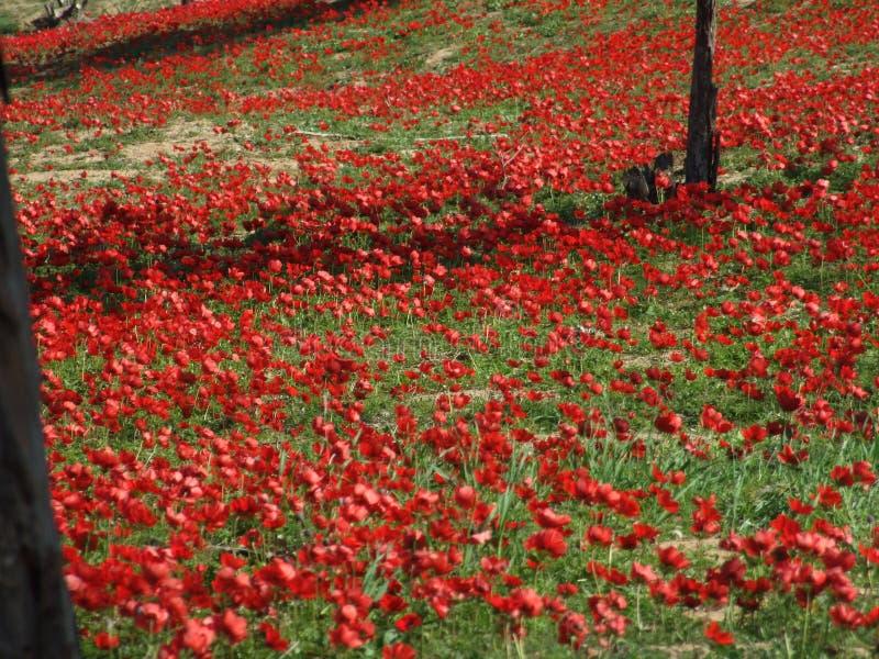Rote Blumen in Süd-Israel lizenzfreies stockbild