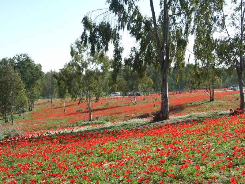 Rote Blumen in Süd-Israel lizenzfreie stockfotografie