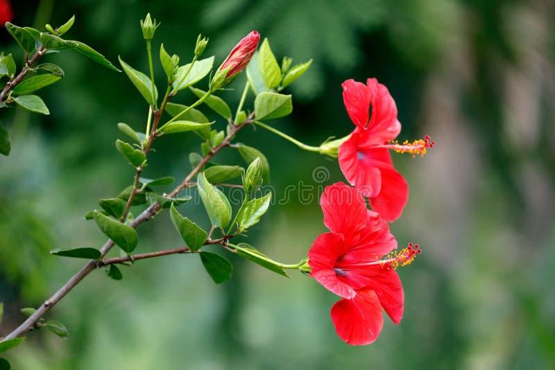 Rote Blumen von Hibiscusen oder von Rose Mallow stockbild