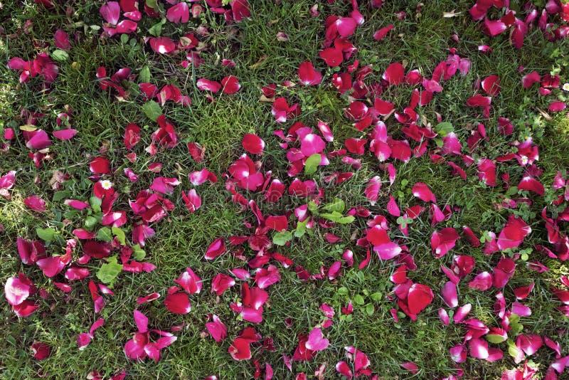 Rote Blumenblumenblätter auf dem Gras an einem sonnigen Sommertag lizenzfreies stockfoto