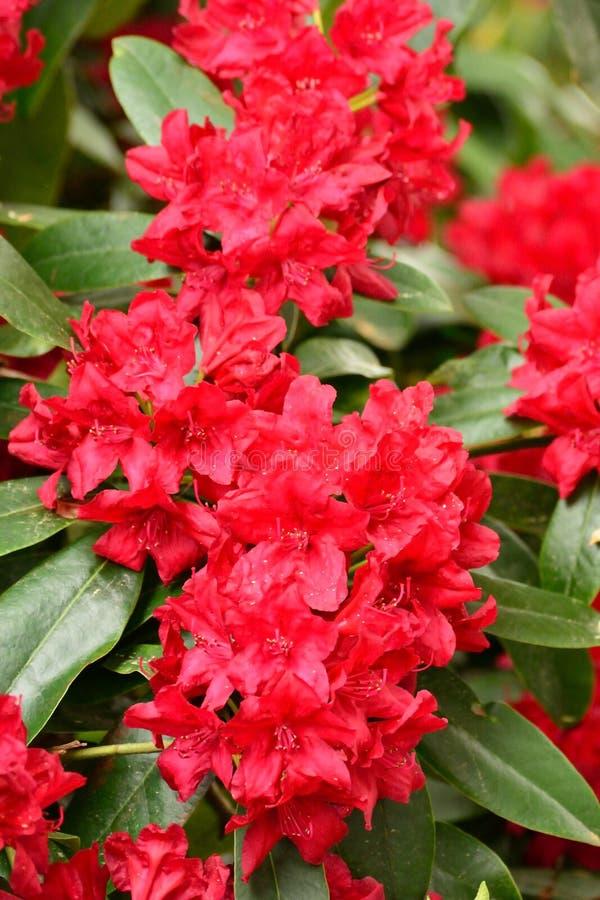 Rote Blumengarten-Sommernahaufnahme lizenzfreie stockfotos