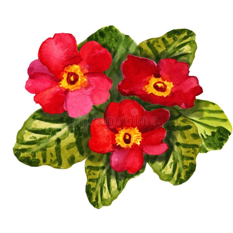 Rote Blumenprimel der Primel Botanische Zeichnung des Aquarellaquarells karte vektor abbildung