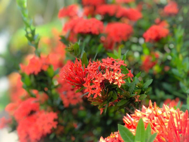 Rote Blumenspitze blüht schöne Blume stockfoto