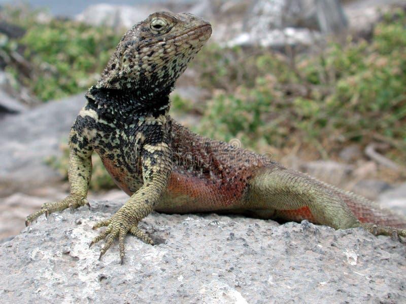 Download Rote breasted Eidechse stockbild. Bild von peek, reptil - 45769