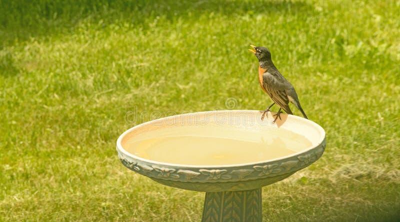 Rote Brust Robins, die auf Rand des Vogelbades sitzt und singt lizenzfreie stockfotos