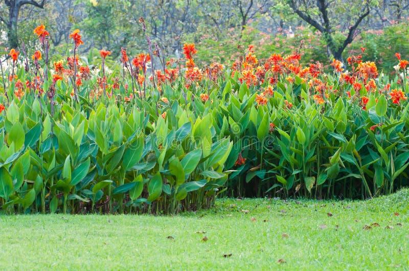Rote canna Blume stockfotos