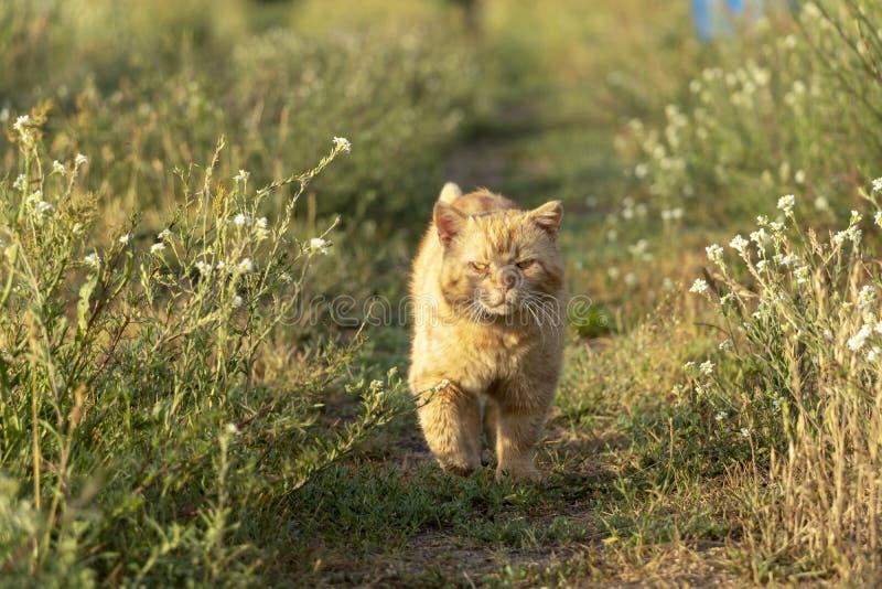 Rote Cat Looking an der Kamera und auf eine Landschafts-Straße am Sommer-Tag tapfer gehen stockbild