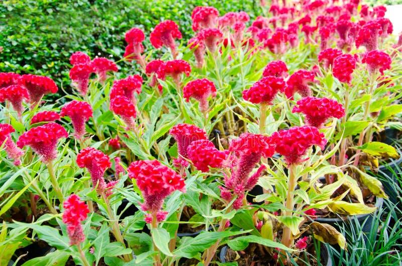 Rote Celosia- oder Wollblumen oder Hahnenkammblume lizenzfreies stockfoto