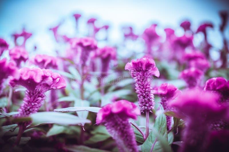 Rote Celosia- oder Wollblumen oder Hahnenkammblumenweinlese stockbild