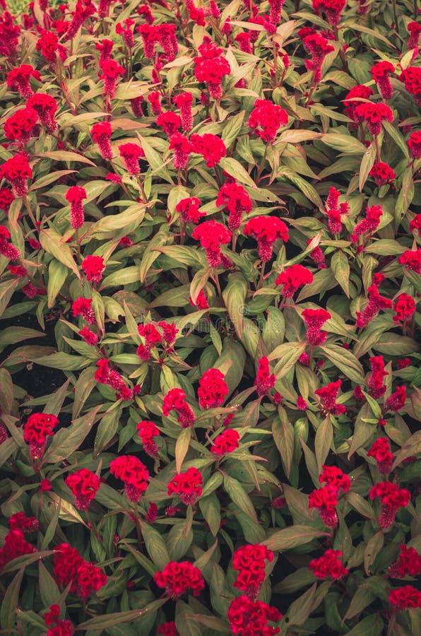 Rote Celosia- oder Wollblumen oder Hahnenkammblumenweinlese lizenzfreie stockfotografie