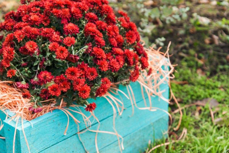 rote Chrysanthemen in einer blauen Holzkiste im Garten stockbilder