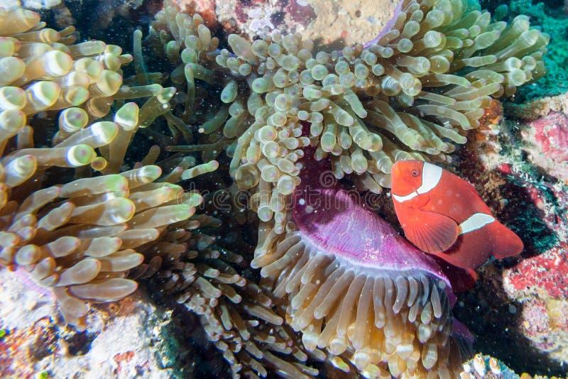 Rote Clownfische in der Anemone Raja Ampat Papua lizenzfreies stockbild