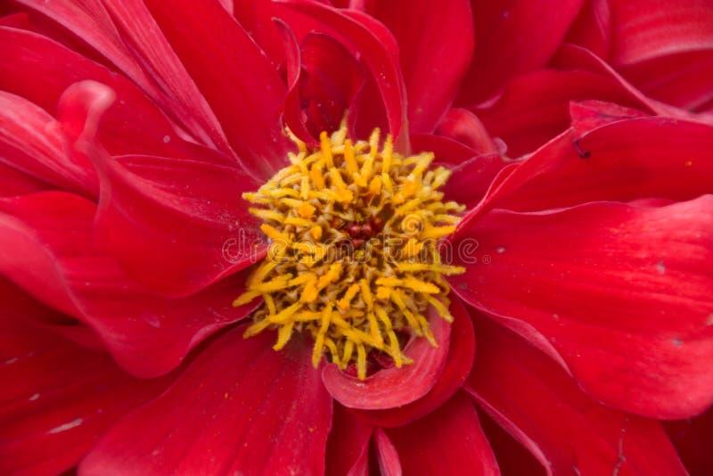 Rote Dahlienblume im Nahaufnahmeschuß lizenzfreie stockbilder