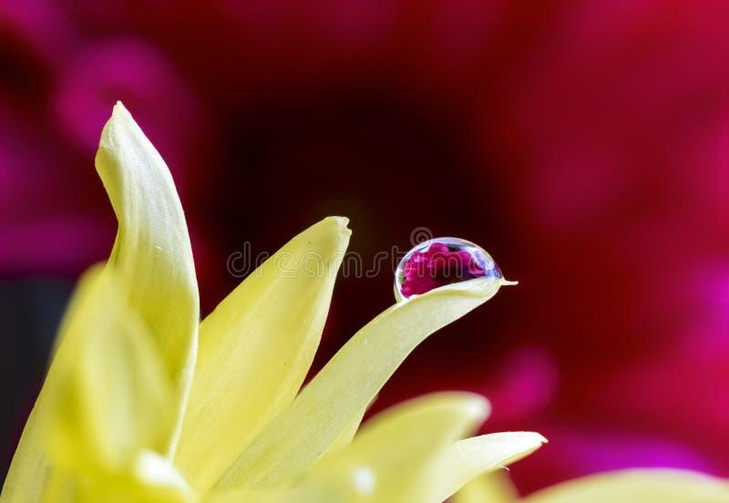 Rote Daisy Refracted im Wasser-Tröpfchen auf gelber Blume stockfotografie