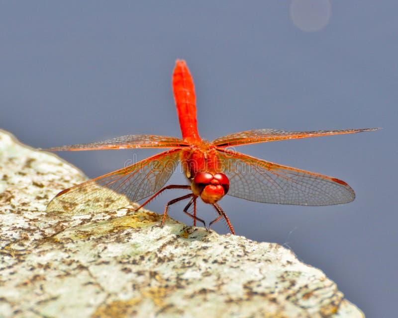 Rote Drache-Fliege stockfoto