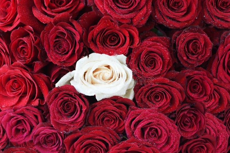 Rote dunkle Rosen in den Wassertropfen und eine weiße Rose Ausführliche vektorzeichnung lizenzfreies stockbild