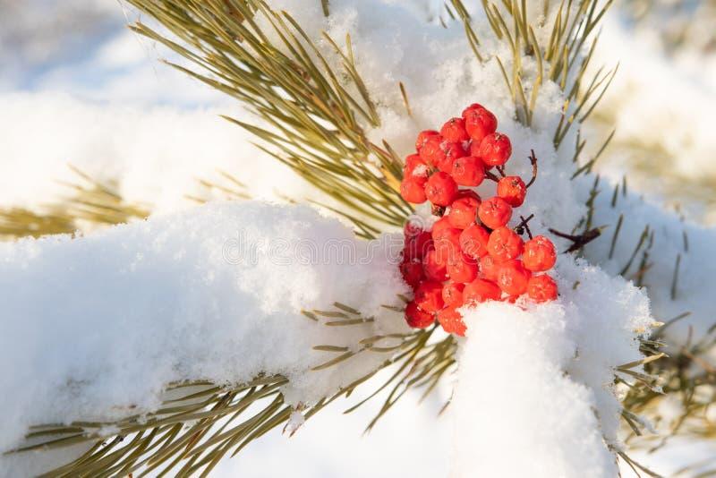 Rote Eberesche auf dem Schnee auf einer Kiefernniederlassung lizenzfreie stockfotos