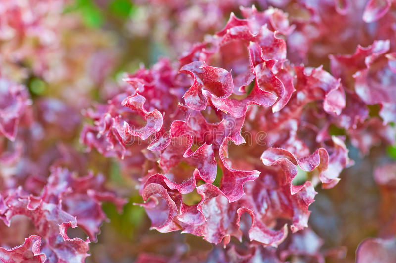 Rote Eiche, rote Koralle soilless oder Wasserkultur stockfotos