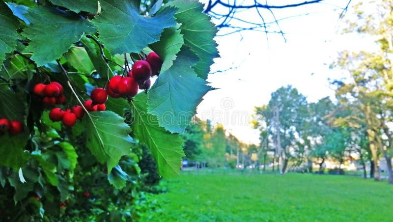 Rote eisige Herbstbeeren stockfotos