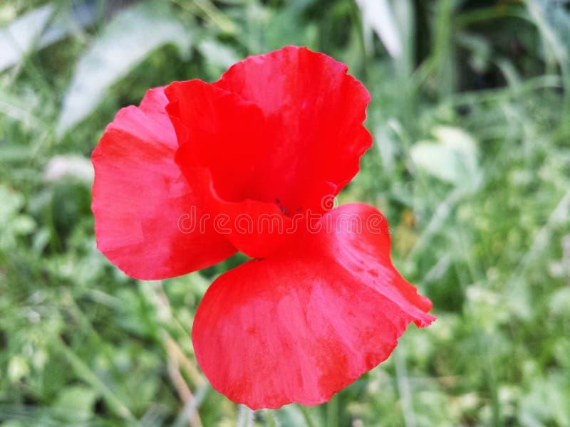 Download Rote Empfindliche Mohnblumenblume An Einem Sonnigen Sommertag Stockfoto - Bild von himmel, blau: 96929544