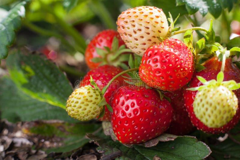 Rote Erdbeere und unausgereifte weiße Früchte auf einem Erdbeerbusch, der auf einem Bett wächst stockbild