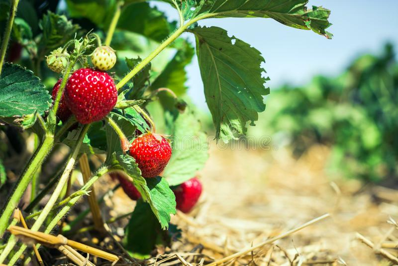 Rote Erdbeeren, die unter den Blättern gepflanzt durch Insekten hängen Organische Produkte stockbild